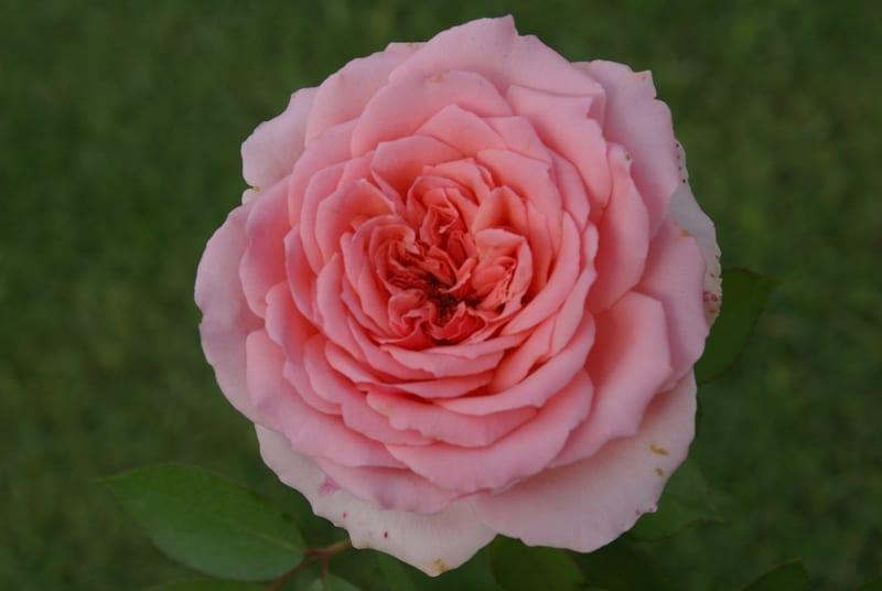 Addo Heritage - open quartered rosette bloom