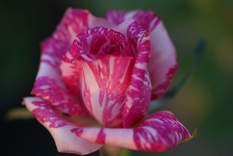 Candy Stripe Ludwigs Roses