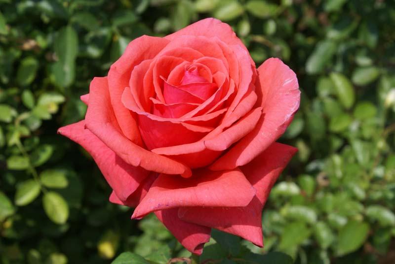 Duftwolke ludwigs rosesludwigs roses duftwolke mightylinksfo