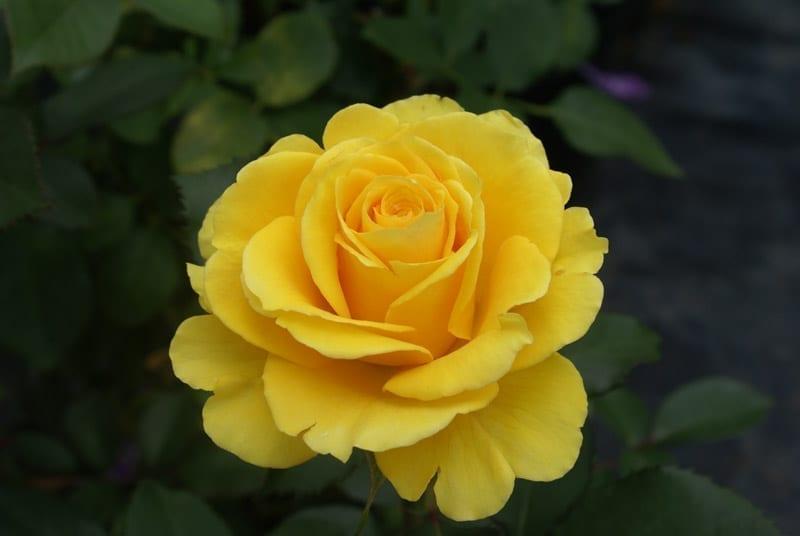 Egoli Ludwigs Roses
