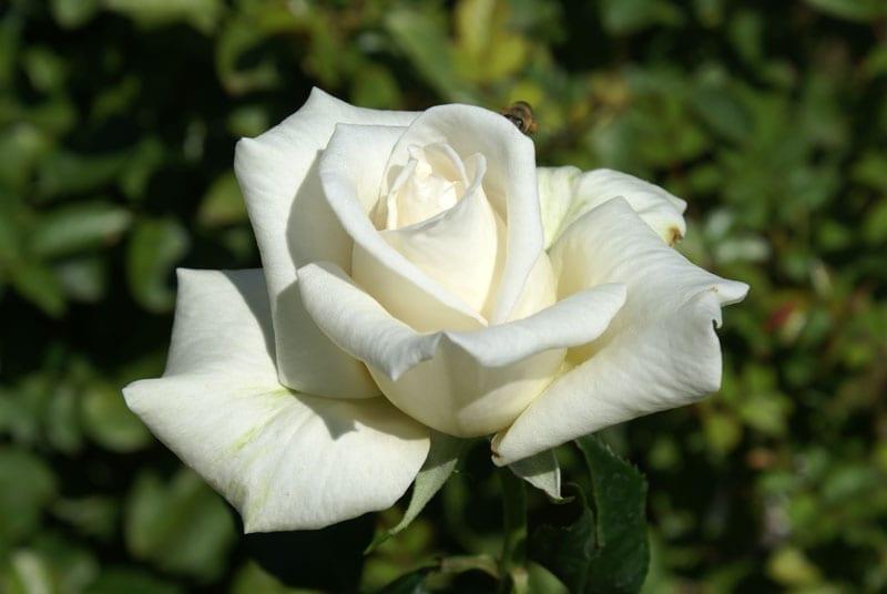 full sail ludwig s roses