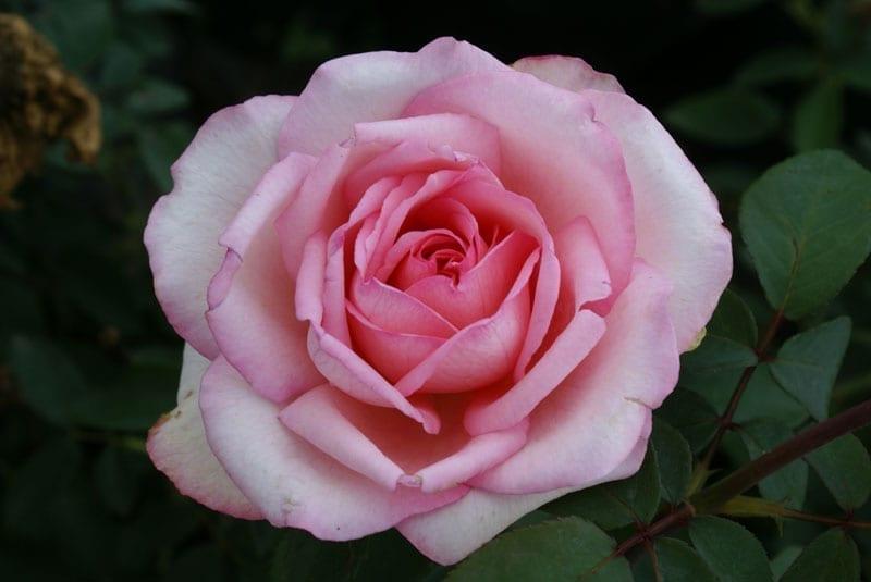 Roses In Garden: Ludwigs RosesLudwigs Roses