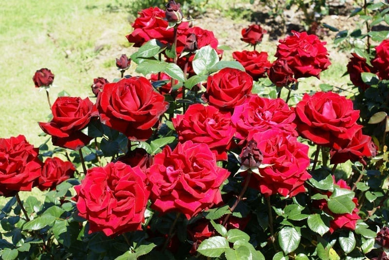ingrid bergman ludwigs rosesludwigs roses. Black Bedroom Furniture Sets. Home Design Ideas
