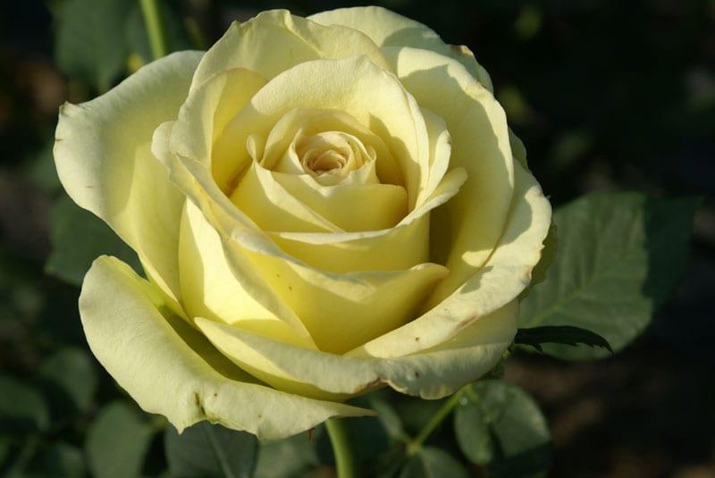 Irish Luck™ | Ludwigs Roses