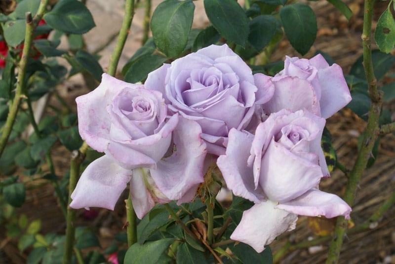 Blue Moon Rose Bush