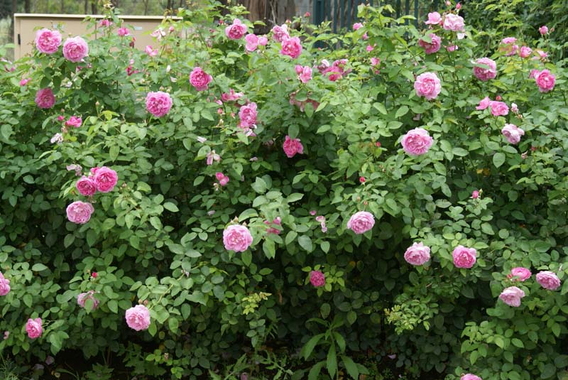 mary rose the plant ludwigs rosesludwigs roses