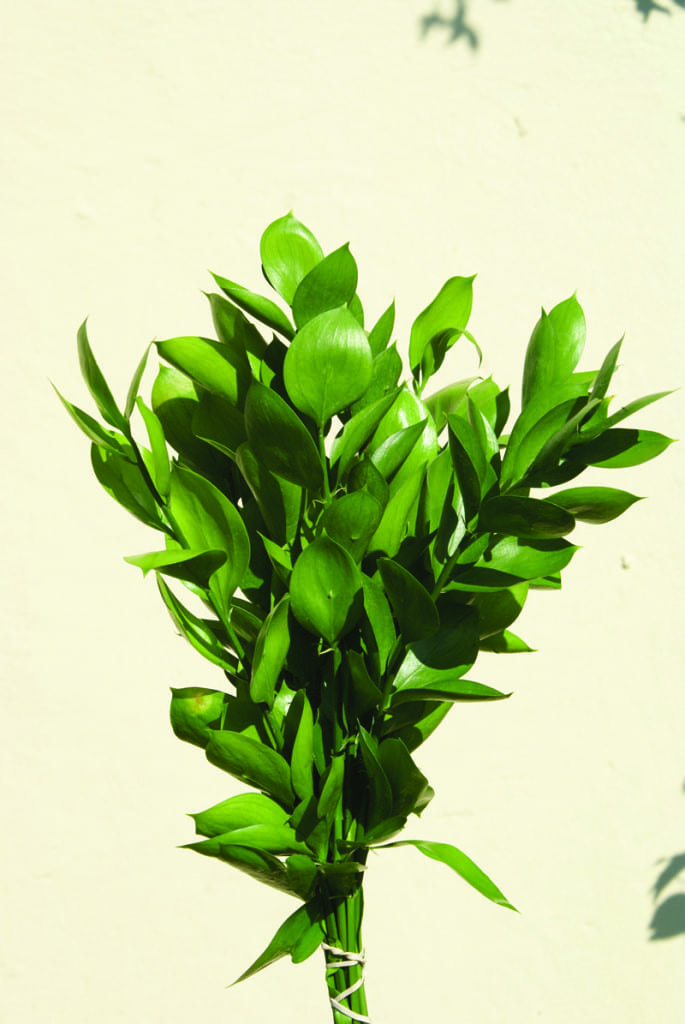 ruscus hypoglossum ludwigs rosesludwigs roses