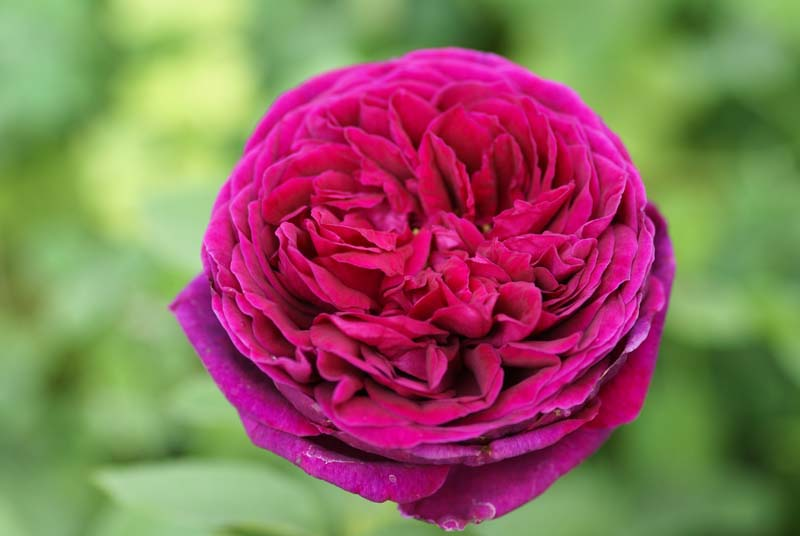 The Prince Ludwigs Roses