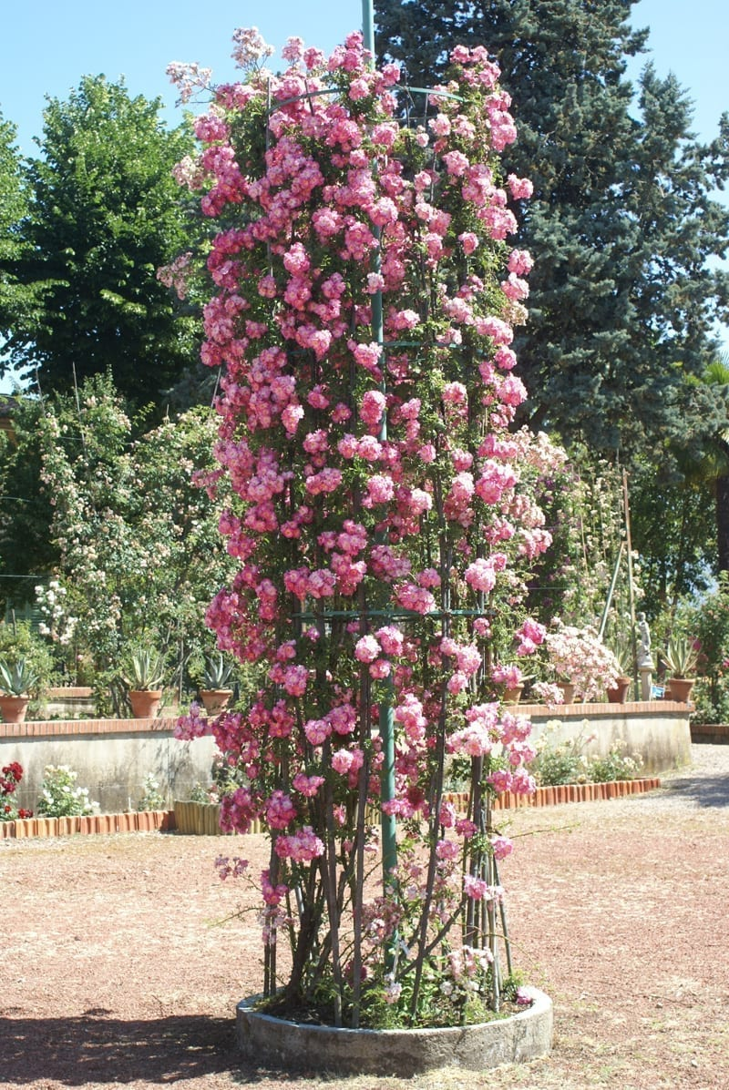 Climbing roses ludwigs rosesludwigs roses - Climbing rose trellis ...
