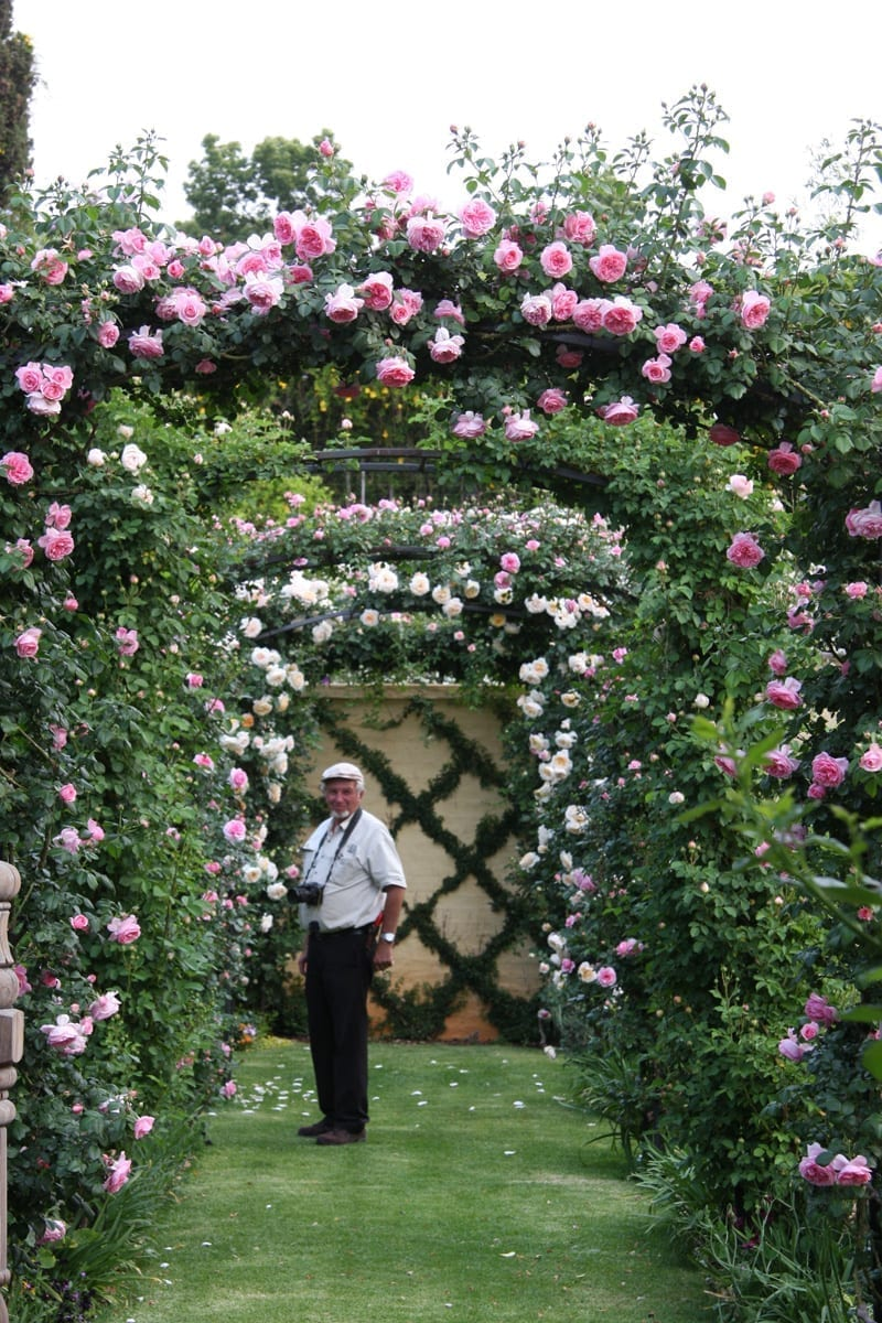 Roses In Garden: Ludwig's Roses