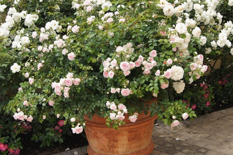 Roses In Pots - Ludwigs Rosesludwigs Roses