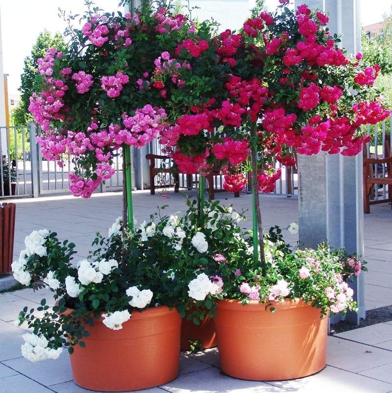 Roses in pots ludwigs rosesludwigs roses for Jardines en la terraza