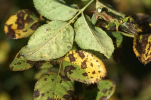 Black spot symptoms on top and bottom of rose foliage. Photo by Ludwig Taschner