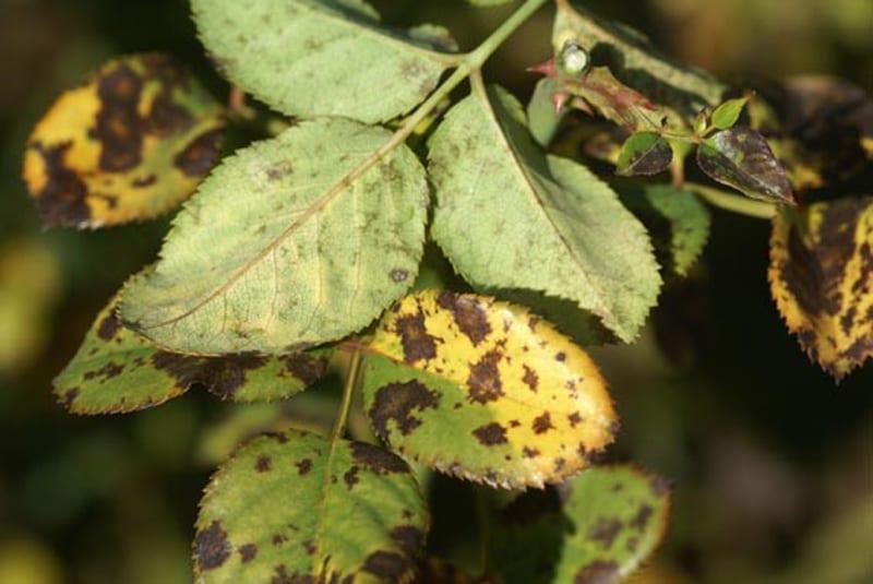 Black Spot – Ludwig's Roses