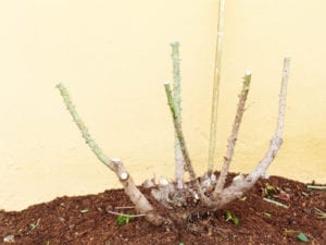 Step 3 severe pruning cutting back to 50 cm mark leaving maximum 4 stems