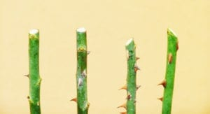 any type of cut is acceptable, however avoic slanted cut too close to an eye as seen on right stem