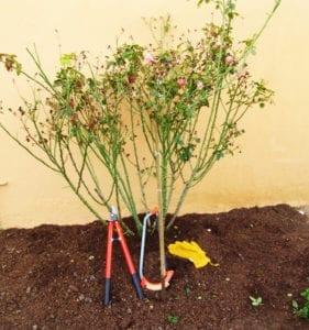 unpruned rose bush