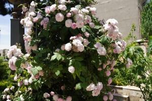 Persian musk rose 'Nastarana'