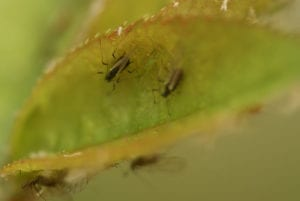 Winged adult aphid