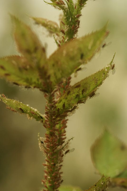 Aphids on new growth of roses