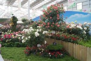 China Rose Show (18)