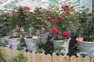 China Rose Show (20)