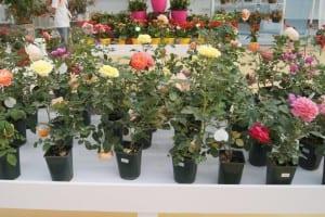 China Rose Show (44)