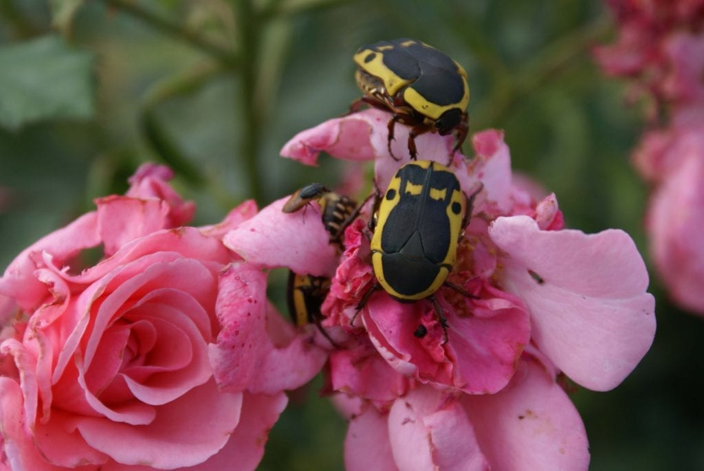 Fruit chafer beetle