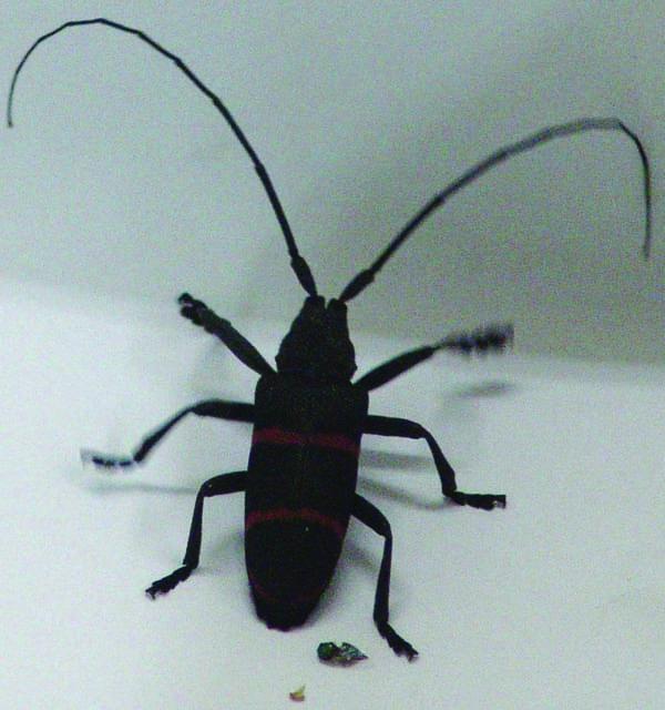 Wilt Beetle