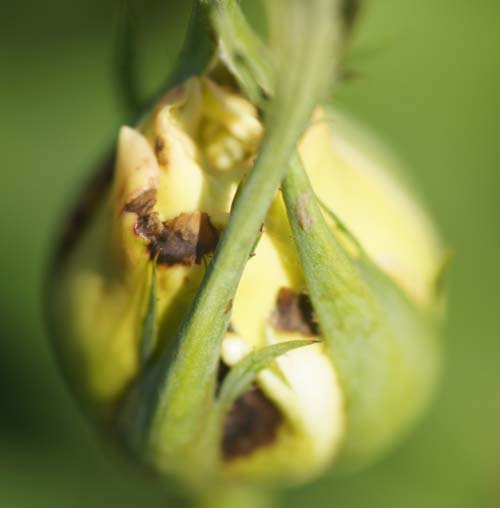 Thrips – Ludwig's Roses