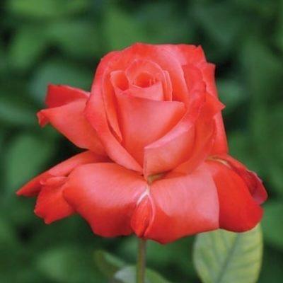 Allanson Rose