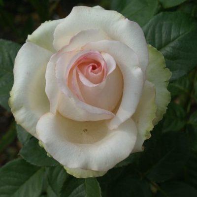 Elisabeth Rose