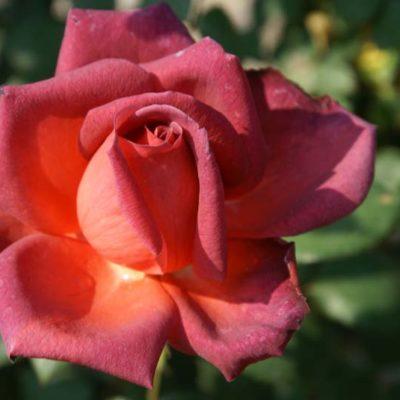 Cordwalles Centenery Rose