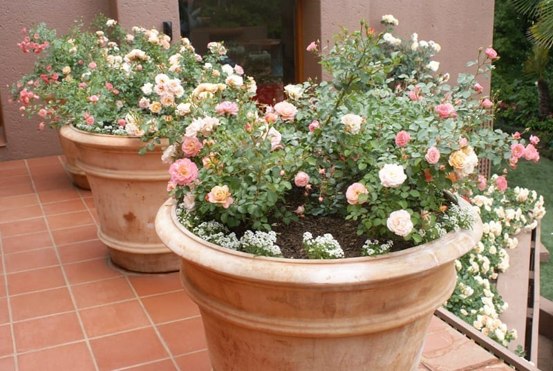 Roses In Pots Ludwig S