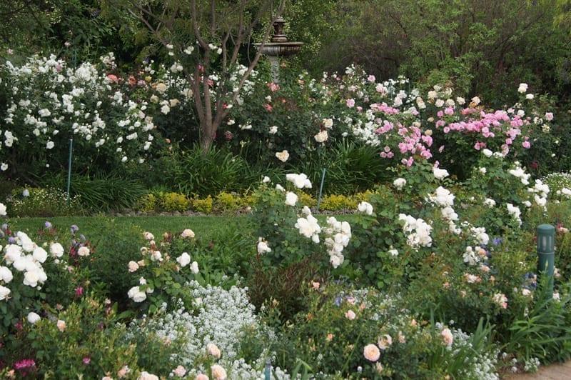 Companion Plants Ludwig S Roses