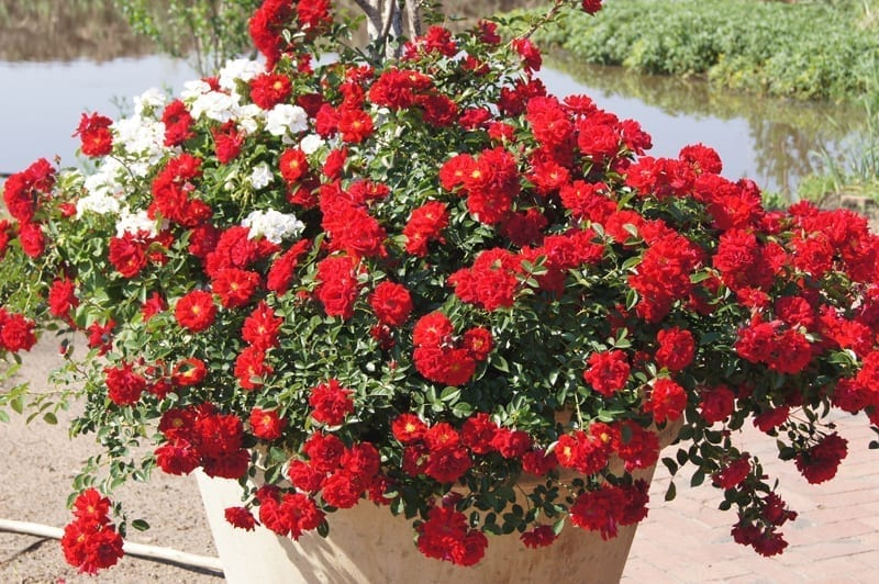 Any Rose Can Be Grown Successfully In A Container It All Has To Do With Water Holding Capacity Since Is Difficult And Unpractical Grow Large