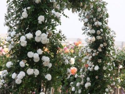 Midinette Roses