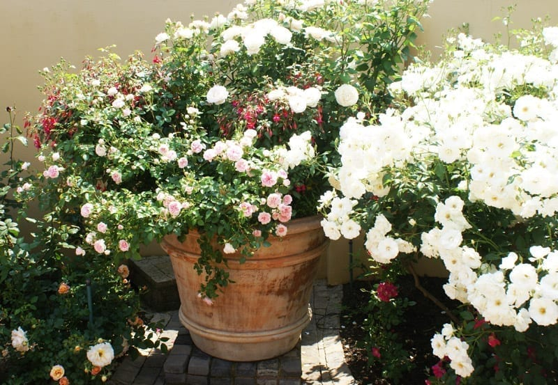 The Same Lies When Selecting A Rose For Specific Pot Growth Pattern Is Usually More Important Than Shape Of Flower Or Colour