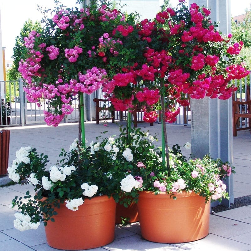 Landscaping Ideas Roses In Pots