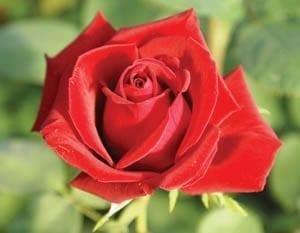 Spire Roses