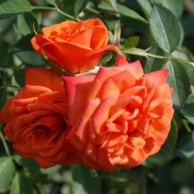 Apricot Midinette