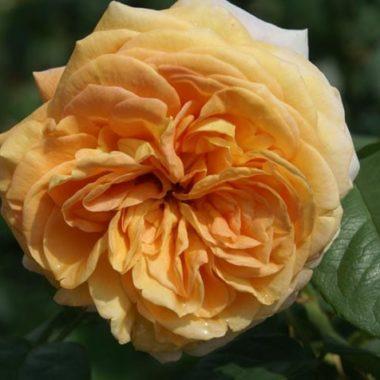 Apricot Panarosa™