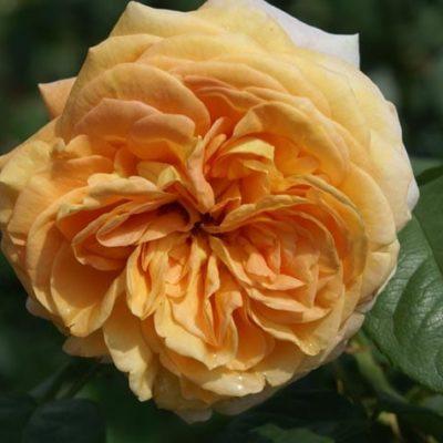 Apricot Panarosa