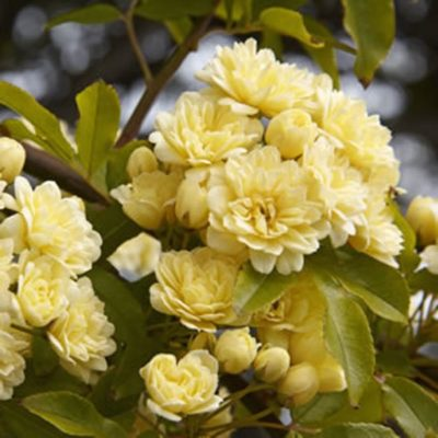 Rosa Banksia white & yellow