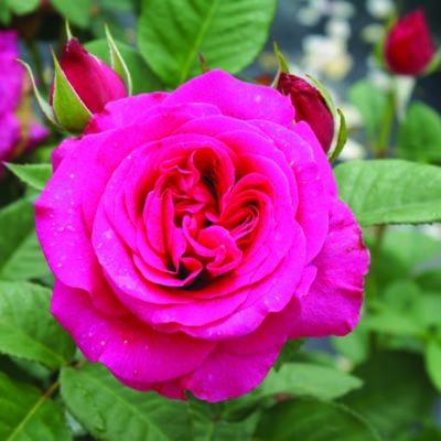 Magaliesburg Rose