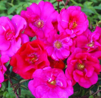 Pink Sunsation