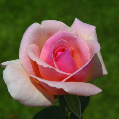 Rose Celeste