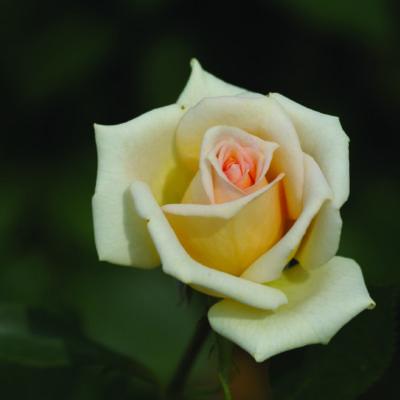 Silk Pierrine