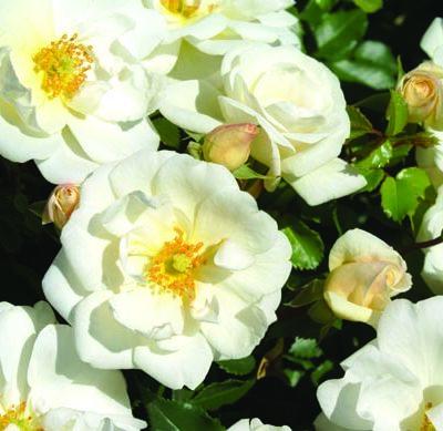 White Sunsation