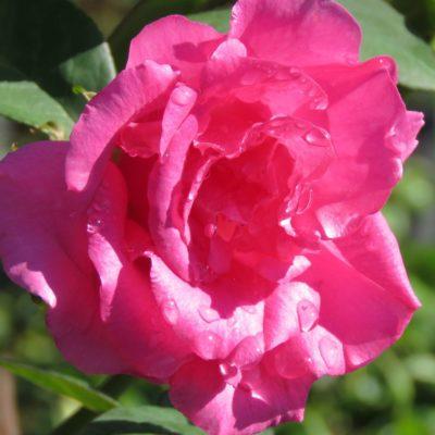 Smithfield Rose